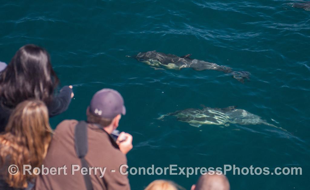 Delphinus capensis 2012 06-22 SB Channel-a-012