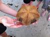 Pillow Starfish (bottom)