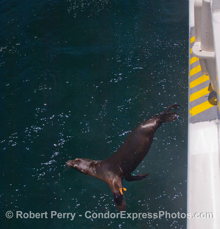 Away we go! A rehabilitated California sea lion pup (<em>Zalophus californianus</em>).
