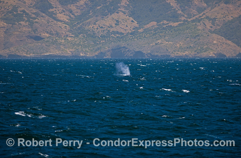 A lone giant Blue Whale (<em>Balaenoptera musculus</em>) spouts in the breeze with Santa Cruz Island in the back.
