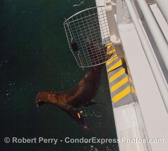 The last rehabilitated California sea lion pup (<em>Zalophus californianus</em>) is released.