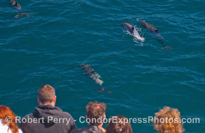 Guests aboard the Condor Express get close looks at some long-beaked Common Dolphins (<em>Delphinus capensis</em>).  To the upper right, there is a mother and calf, the calf is leaping.