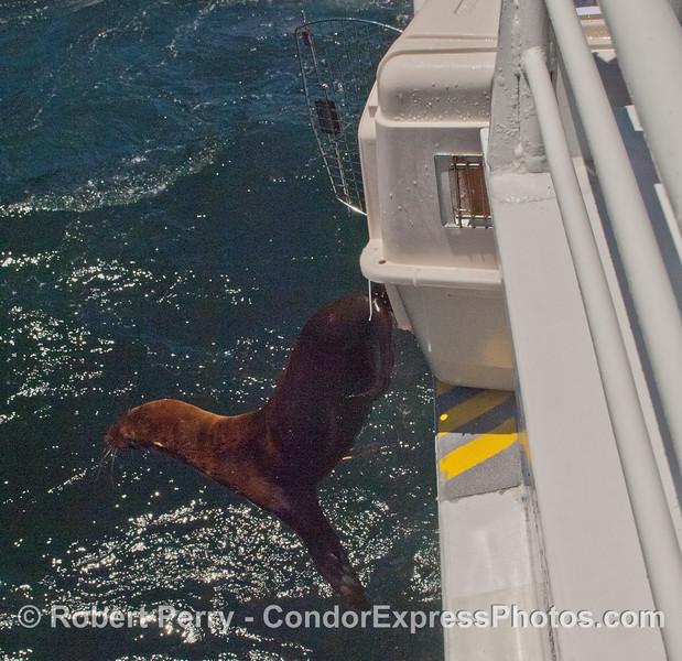 A rehabilitated California sea lion pup (<em>Zalophus californianus</em>) takes the plunge back home.