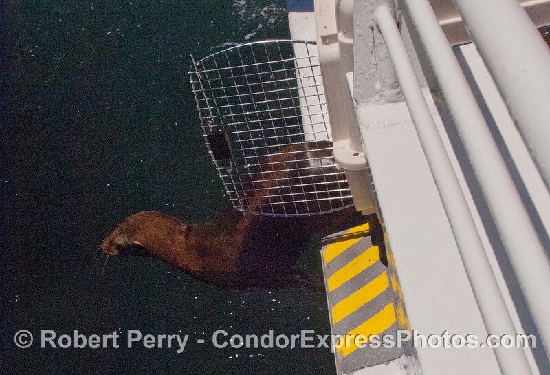 Another rehabilitated California sea lion pup (<em>Zalophus californianus</em>).