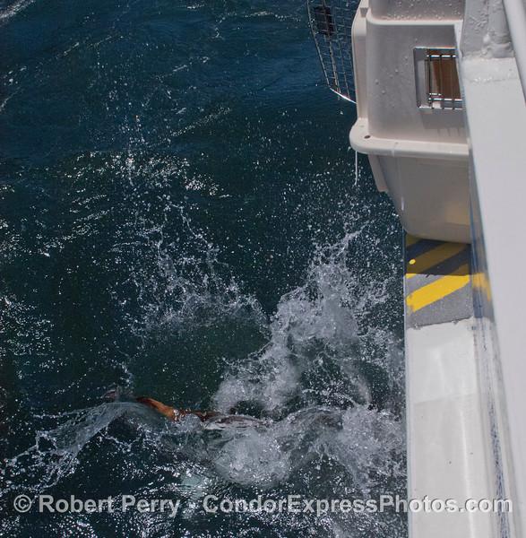 A rehabilitated California sea lion pup (<em>Zalophus californianus</em>) hits the water.