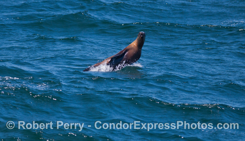A California Sea Lion (<em>Zalophus californianus</em>) looks back at a Humpback Whale (not in picture).