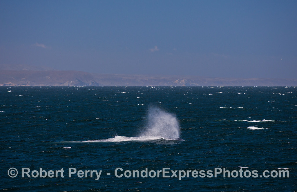A giant Blue Whale (<em>Balaenoptera musculus</em>) in heavy seas with Santa Rosa Island in the background.