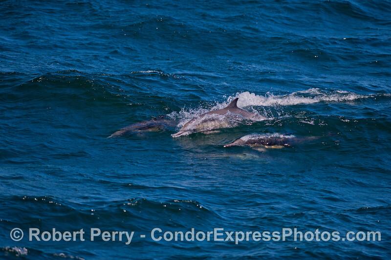 Long-beaked Common Dolphins (<em>Delphinus capensis</em>) surf an open ocean swell.