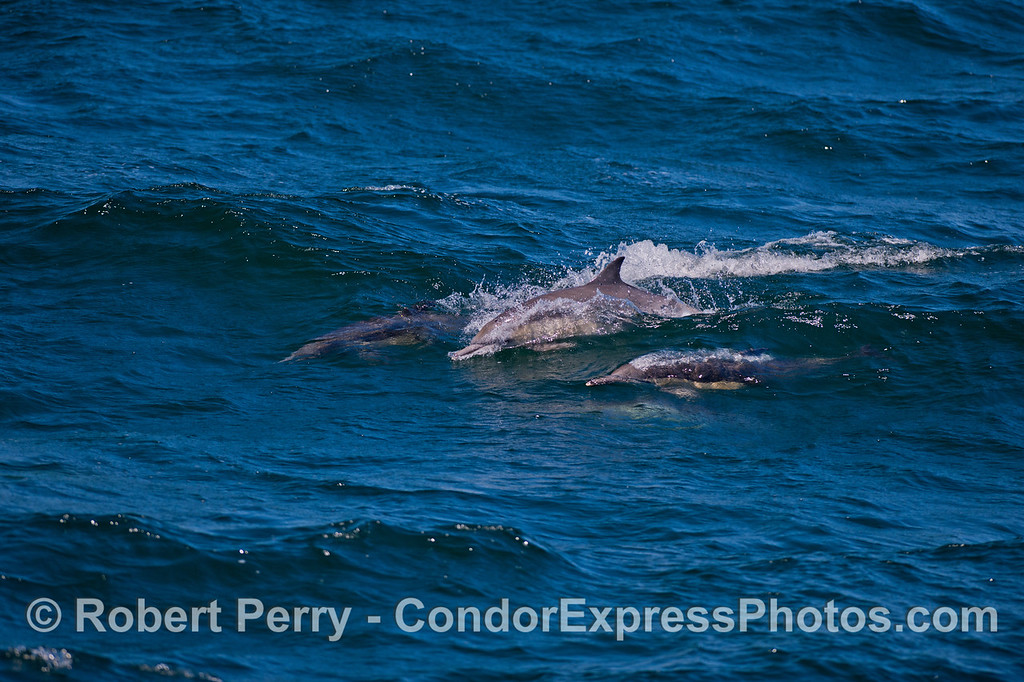 Long-beaked Common Dolphins (<em>Delphinus capensis</em>) surf an open ocean swell.