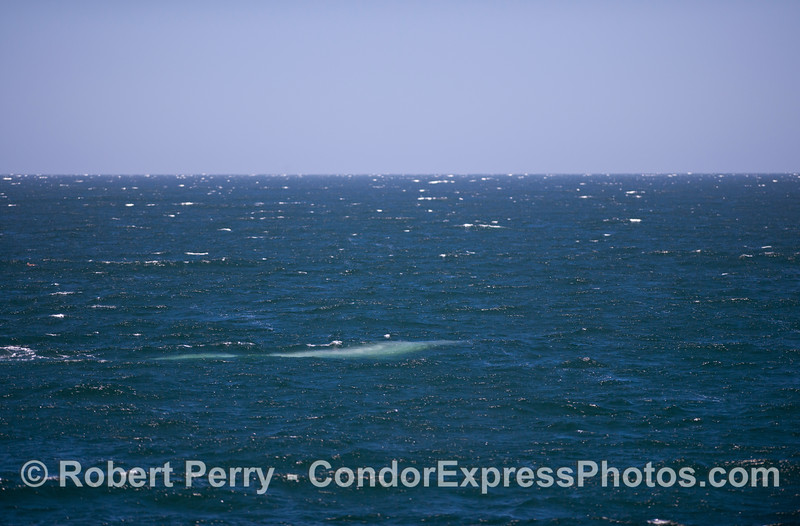 "The ""blue streak."" A giant Blue Whale (<em>Balaenoptera musculus</em>) glides beneath the waves and shines bright blue."