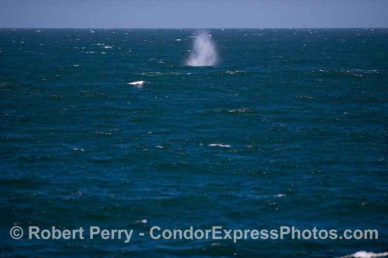 A  Blue Whale (<em>Balaenoptera musculus</em>) spouts on a windy ocean.