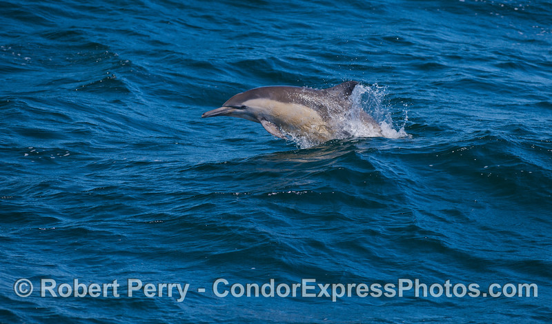 A  long-beaked Common Dolphin (<em>Delphinus capensis</em>) busts through the back of a wave and takes off.