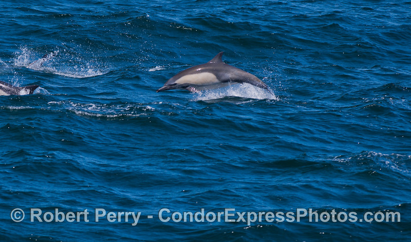 A  long-beaked Common Dolphin (<em>Delphinus capensis</em>) gets airborn.