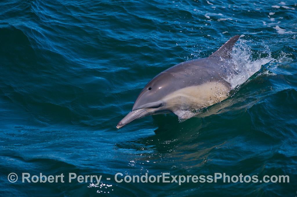 A  long-beaked Common Dolphin (<em>Delphinus capensis</em>).
