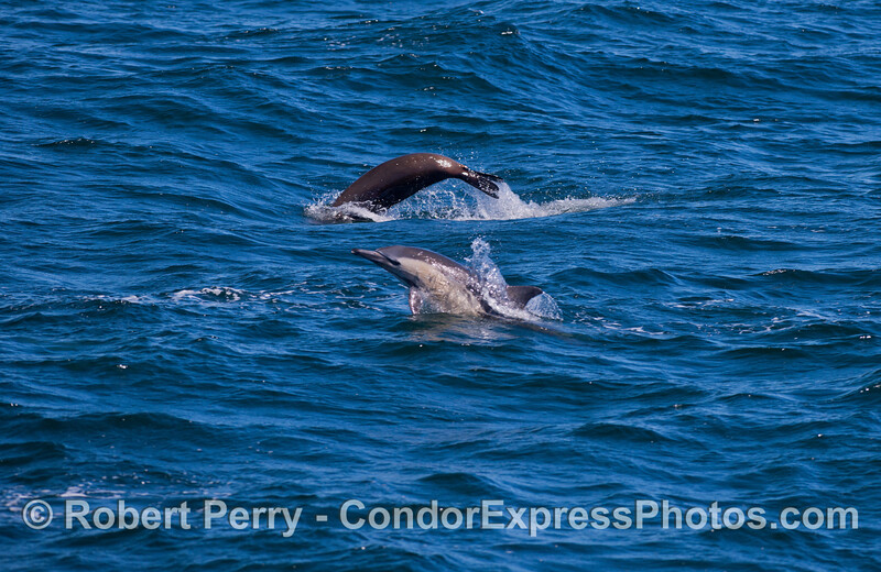"""California Sea Lions (<em>Zalophus californianus</em>) frequently """"porpoise"""" as they travel and feed along with the long-beaked Common Dolphins (<em>Delphinus capensis</em>)."""