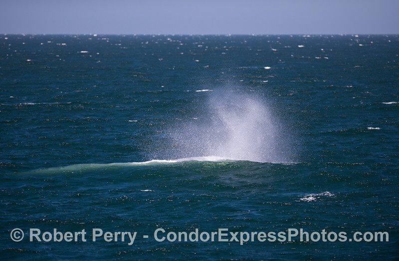 A fresh breeze scatters the spout spray from a giant Blue Whale (<em>Balaenoptera musculus</em>).