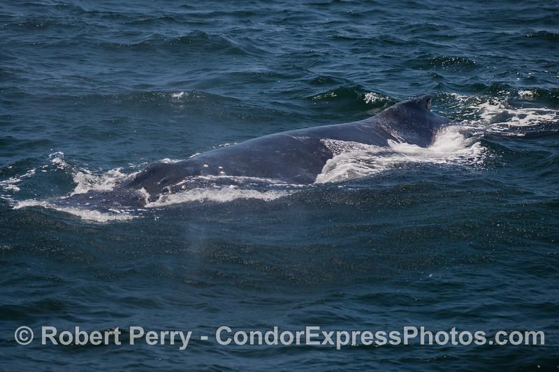 A friendly Humpback Whale (<em>Megaptera novaeangliae</em>).