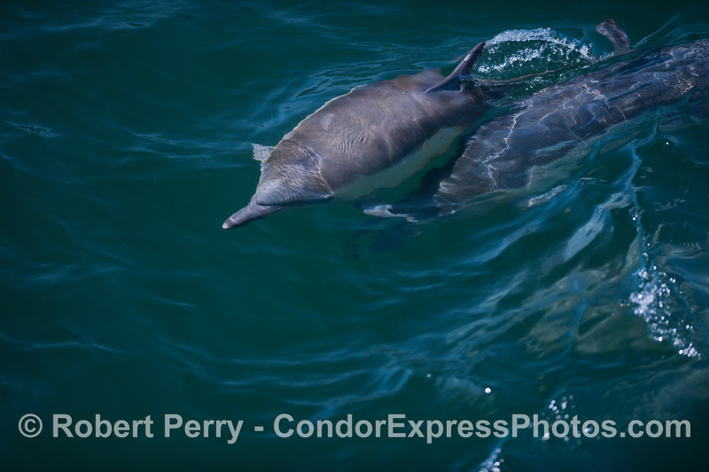 A juvenile long-beaked Common Dolphin (<em>Delphinus capensis</em>) stays close to its mother.