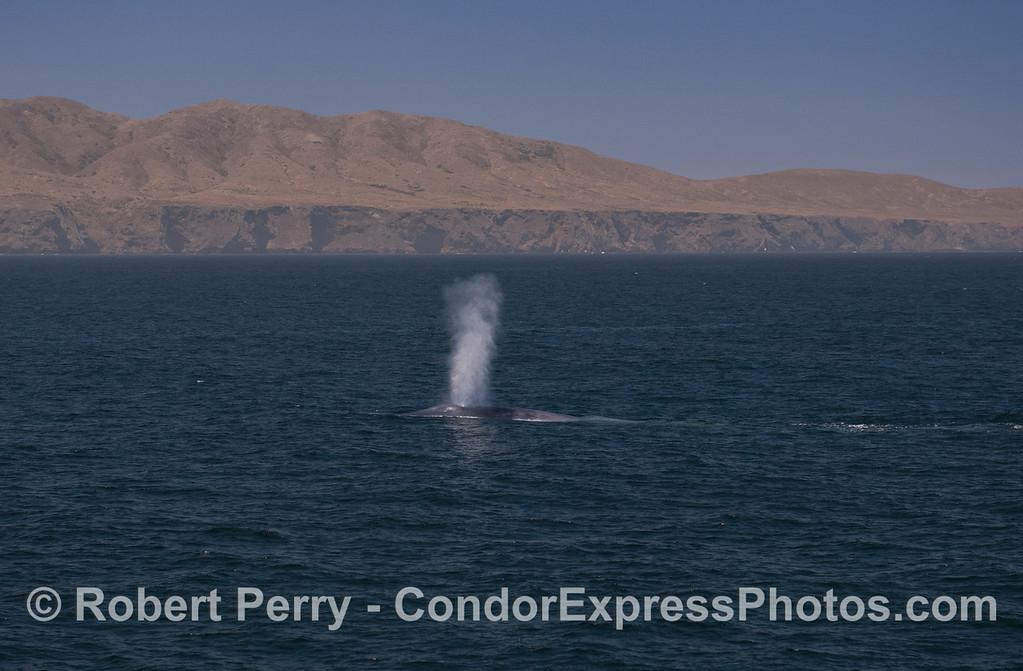 A giant Blue Whale (<em>Balaenoptera musculus</em>) with Santa Cruz Island in the back.