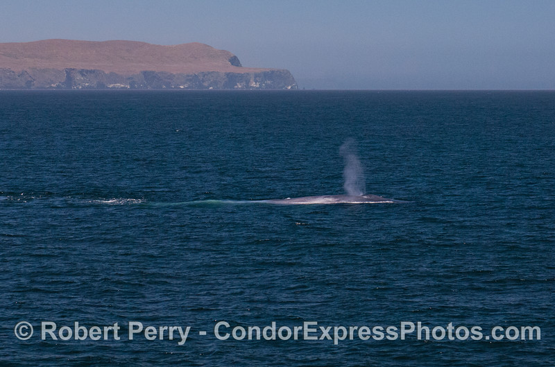 A giant Blue Whale (<em>Balaenoptera musculus</em>) with the west end of Santa Cruz Island in the back.