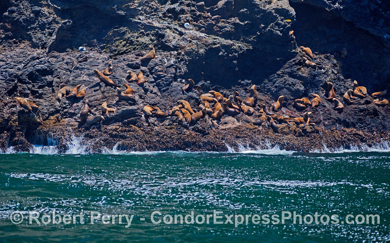 California Sea Lions (<em>Zalophus californianus</em>) are seen hauled out on the rocks at Santa Cruz Island.