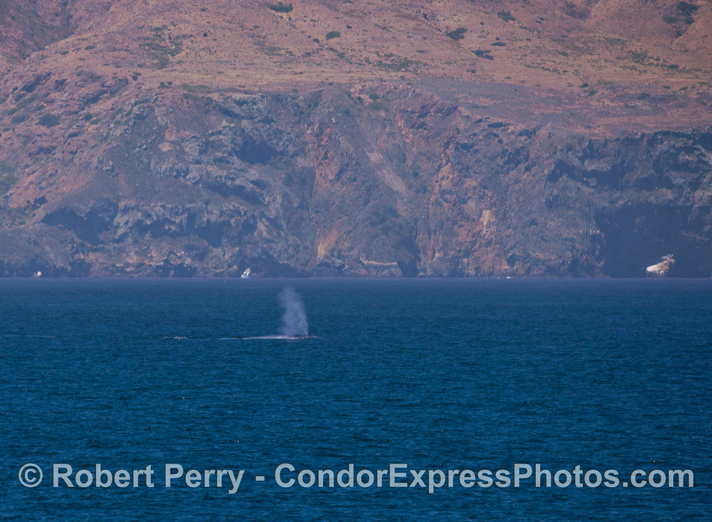 A giant Blue Whale (<em>Balaenoptera musculus</em>) with the steep sea cliffs of Santa Cruz Island in the back.