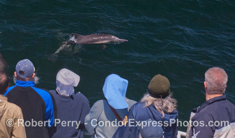 A long-beaked Common Dolphin (<em>Delphinus capensis</em>) pays a visit to whale watcher on board the Condor Express.