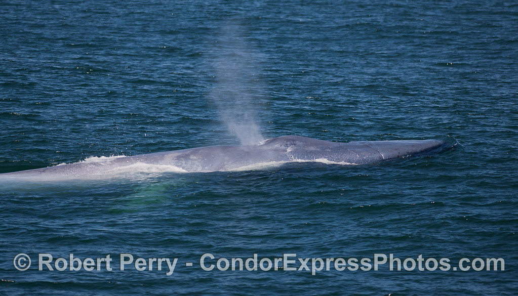 A spouting Blue Whale (<em>Balaenoptera musculus</em>) lifts its head slightly.  Also, the light colored right pectoral fin can be seen under the water.