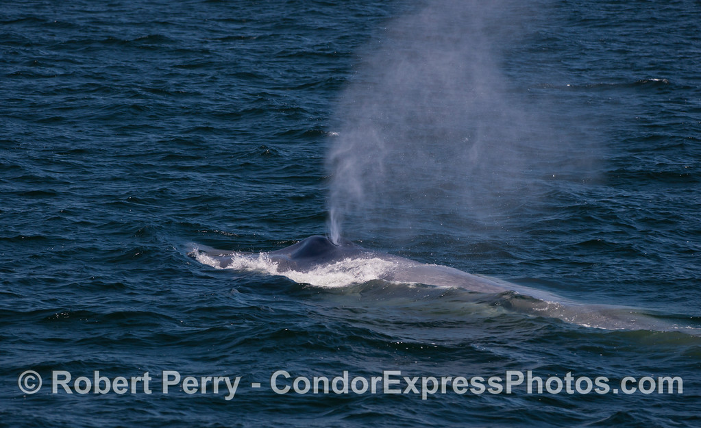 Another look at a giant Blue Whale (<em>Balaenoptera musculus</em>) spouting.