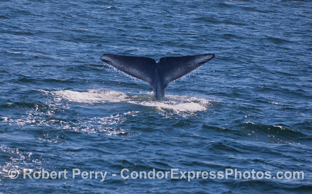 Giant Blue Whales (<em>Balaenoptera musculus</em>) don't fluke up very often.  It's hard to imagine that the world's largest beast is under the water here.