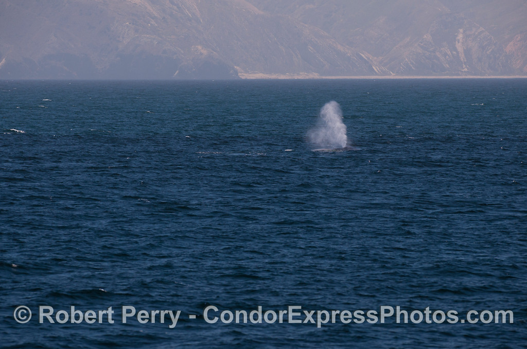 A giant Blue Whale (<em>Balaenoptera musculus</em>) in the distance, with Santa Cruz Island in back.