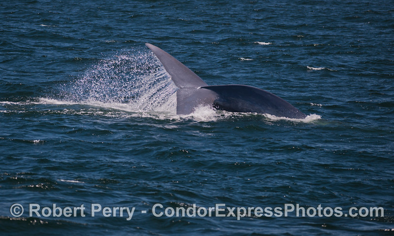 "Giant Blue Whales (<em>Balaenoptera musculus</em>) don't fluke up very often.  We've seen this individual for the past few weeks and it's identifyable characteristic is this ""right handed"" deep dive."