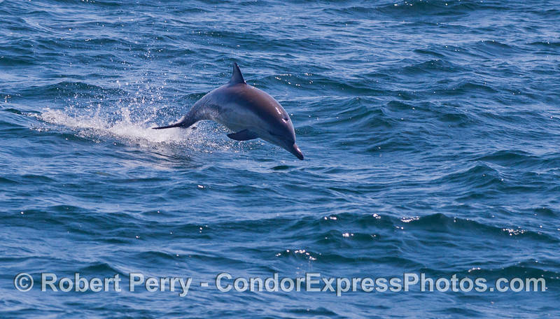 Long-beaked Common Dolphins (<em>Delphinus capensis</em>) love to leap!