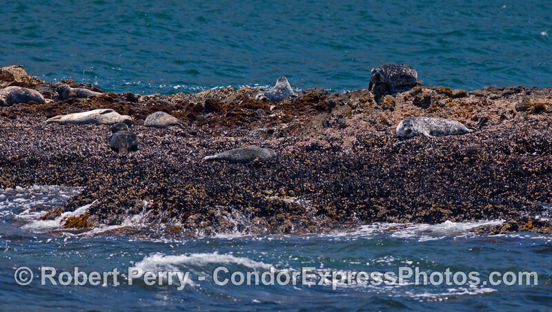 Pacific Harbor Seals (<em>Phoca vitulina</em>) sleep on a rocky islet off Santa Cruz Island.