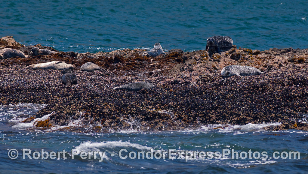 Pacific Harbor Seals (<em>Phoca vitulina</em>) sleep on a rocky islet off Santa Cruz Island.