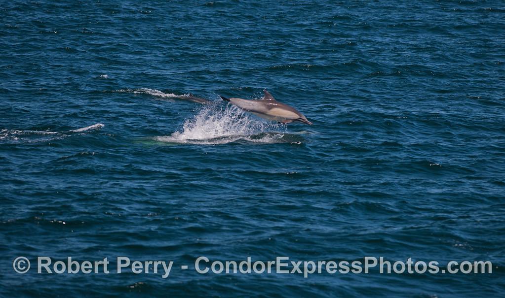 Long-beaked Common Dolphins (<em>Delphinus capensis</em>) love to leap!