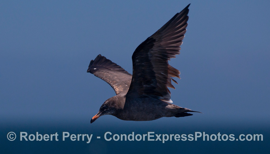 A young Heermann's Gull (<em>Larus heermanni</em>) circles the Condor Express.