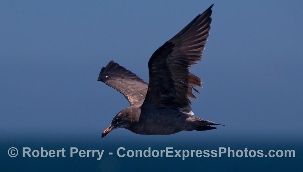 A young Heermann's Gull (<em>Larus heermanni</em>) circles the Condor Express.