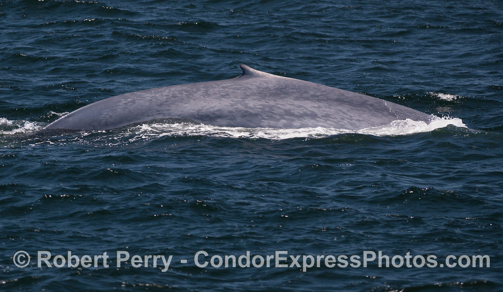 For comparison purposes, here's a shot of the flanks and dorsal fin of a giant Blue Whale (<em>Balaenoptera musculus</em>).  The next image is a Humpback Whale.