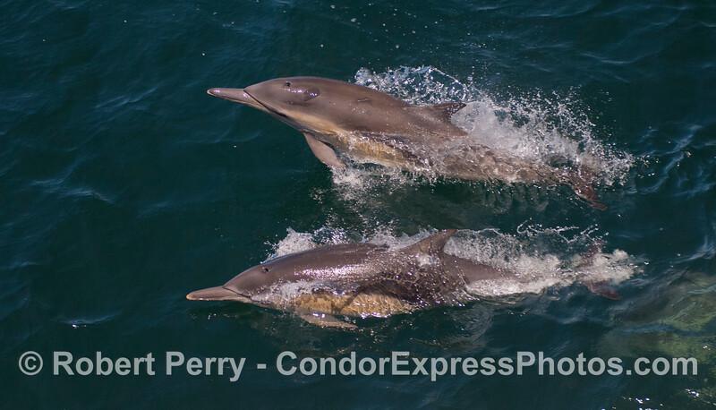 Two long-beaked Common Dolphins (<em>Delphinus capensis</em>).