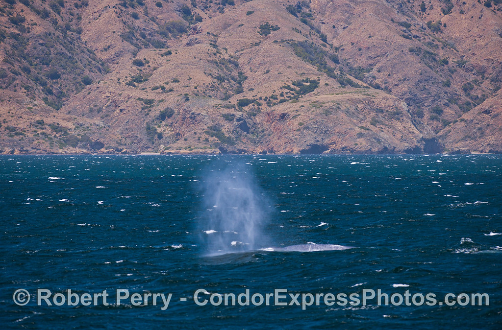 A giant Blue Whale (<em>Balaenoptera musculus</em>) sends up a tall spout with Santa Cruz Island in the background.