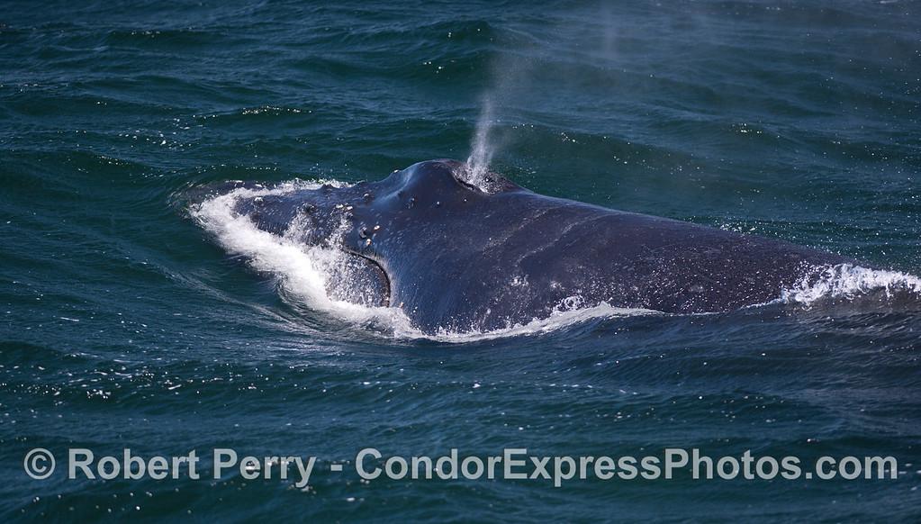 A Humpback Whale (<em>Megaptera novaeangliae</em>) .