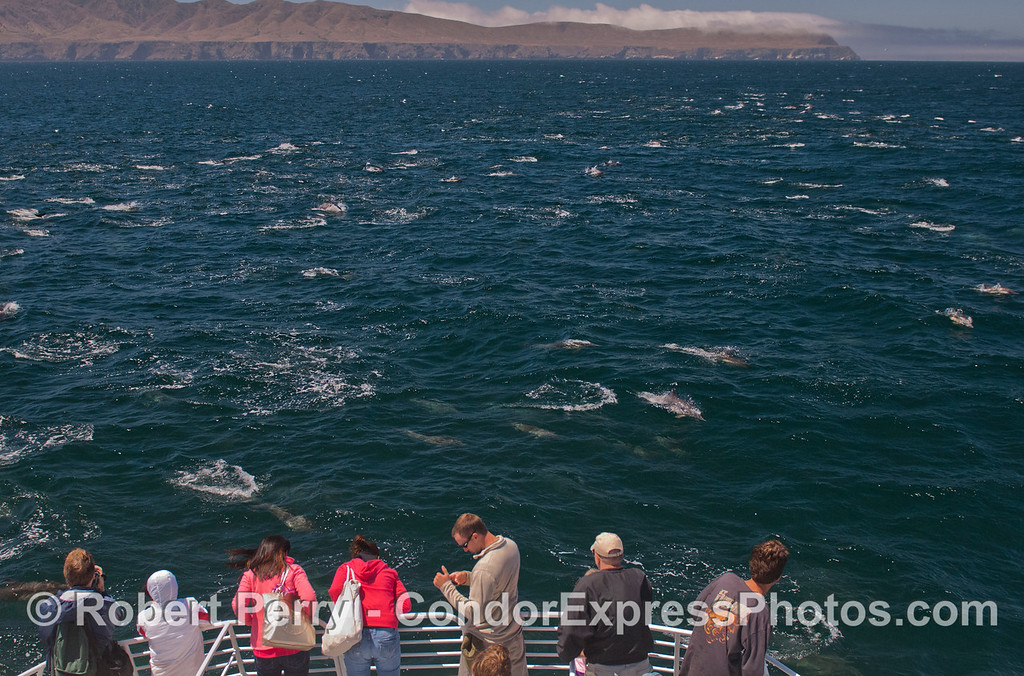 A mega-pod of long-beaked Common Dolphins (<em>Delphinus capensis</em>) as seen from the Condor Express.