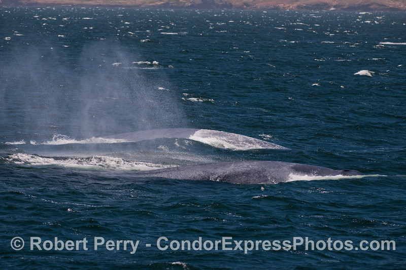 A pair of giant Blue Whales (<em>Balaenoptera musculus</em>)