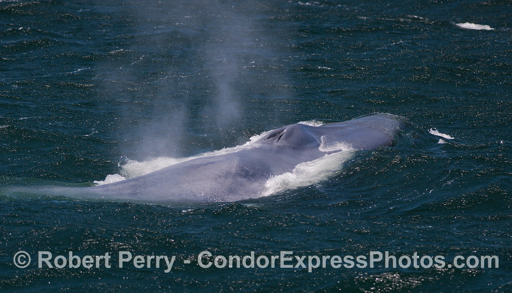 The spout spray from a giant Blue Whale (<em>Balaenoptera musculus</em>) is carried away by the strong breeze.