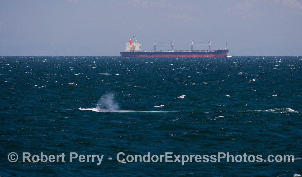 "A giant Blue Whale (Balaenoptera musculus) is seen near the commercial shipping lanes in which the large bulk carrier, ""Basic Rainbow"" is on a southbound course towards Los Angeles -Long Beach Harbor."