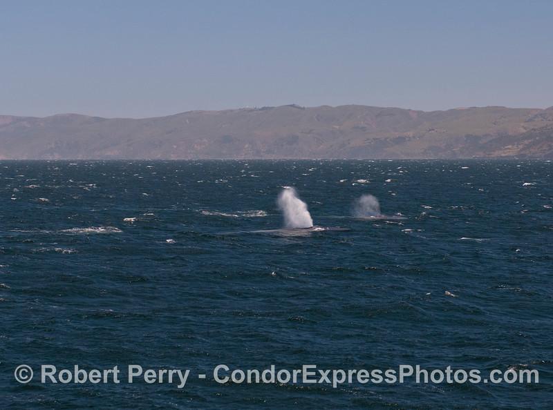 Dual giant Blue Whale (<em>Balaenoptera musculus</em>) spouts and Santa Cruz Island in the back.