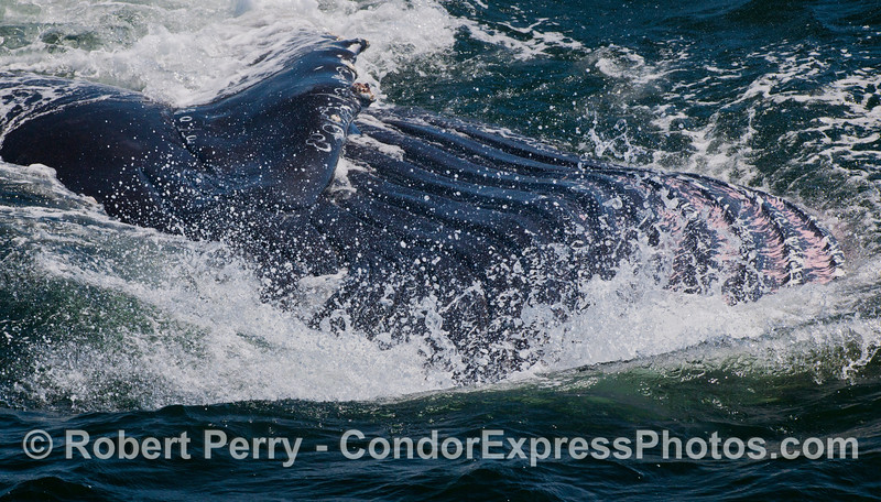 The ventral groove blubber of a lunge feeding Humpback Whale (<em>Megaptera novaeangliae</em>) is seen expanded with krill-laden sea water.