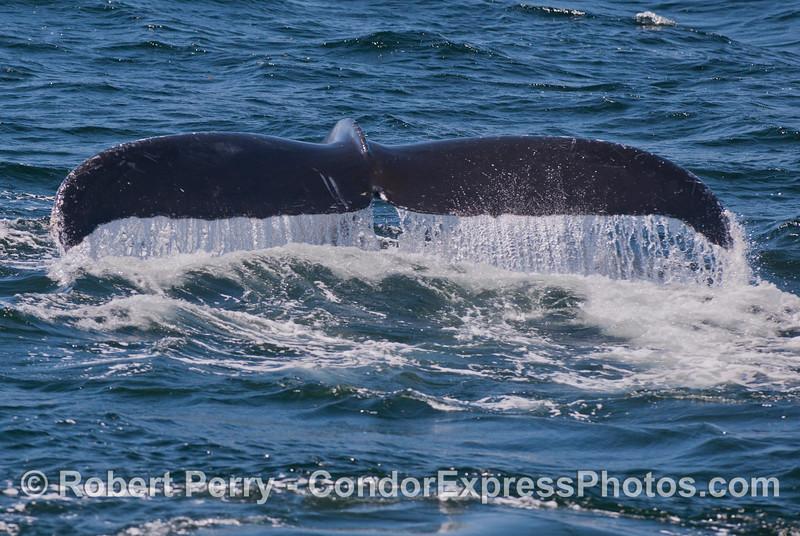 Full frame image of a tail fluke waterfall - Humpback Whale (<em>Megaptera novaeangliae</em>).