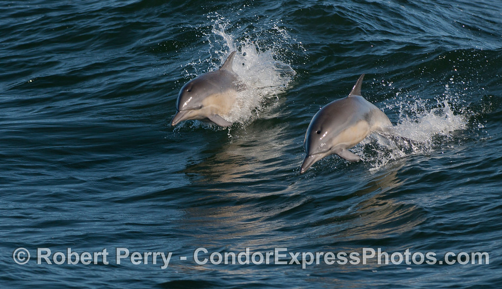 Two long-beaked Common Dolphins (<em>Delphinus capensis</em>) jumping over the waves.